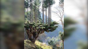 ВИДЕО – Даисуги – јапонска техника за производство на дрвја, без да се сечат дрвјата