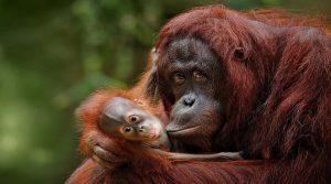 Девет мајмуни примија вакцина против корона