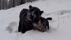 Црн пантер и ротвајлер живеат заедно и се сѐ попопуларни на интернет