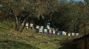 ВИДЕО – Пчеларите: Комичен и апсурден е предлог законот со кој Владата сака да им наплаќа пашарина на пчеларите