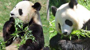 """Гигантската панда """"Среќа"""" во Франција роди близначиња"""