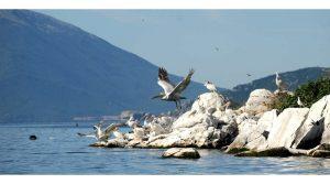 Германски магазин пишува за нашите пеликани на Преспанско Езеро